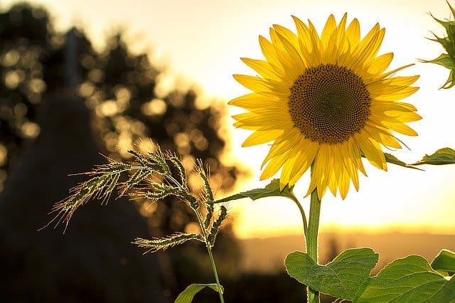 Sunflower oil benefits. Is it good or bad for you?