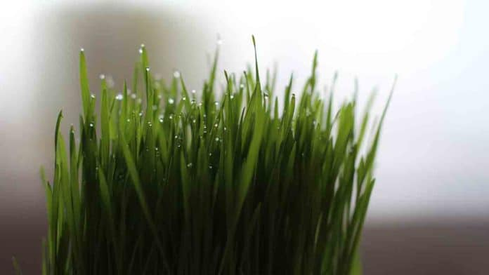 Dangers and side effects of wheatgrass