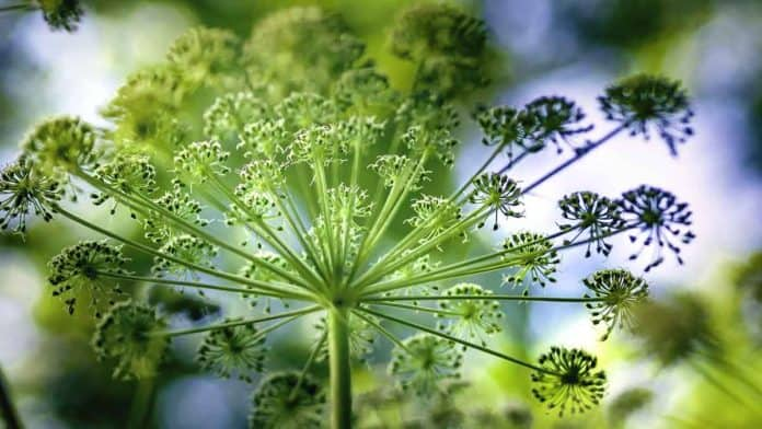 Uses and health benefits of angelica essential oil.